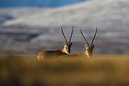 Tibetan antelope or Chiru (Pantholops hodgsonii), Keke Xili, Changtang, Tibetan Plateau, Qinghai, China