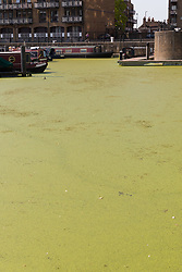© Licensed to London News Pictures. 01/07/2018. London, UK.  Limehouse Basin in east London has turned green following the rapid growth of duck weed which has grown so fast because of the ideal combination of heat in agitated but slow-moving water. Photo credit: Vickie Flores/LNP