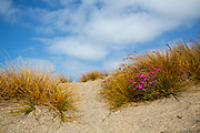 coastal flowers along Riverton Rocks, Southland, New Zealand
