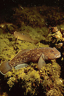 Round Goby, Lake Michigan<br /> <br /> ENGBRETSON UNDERWATER PHOTO