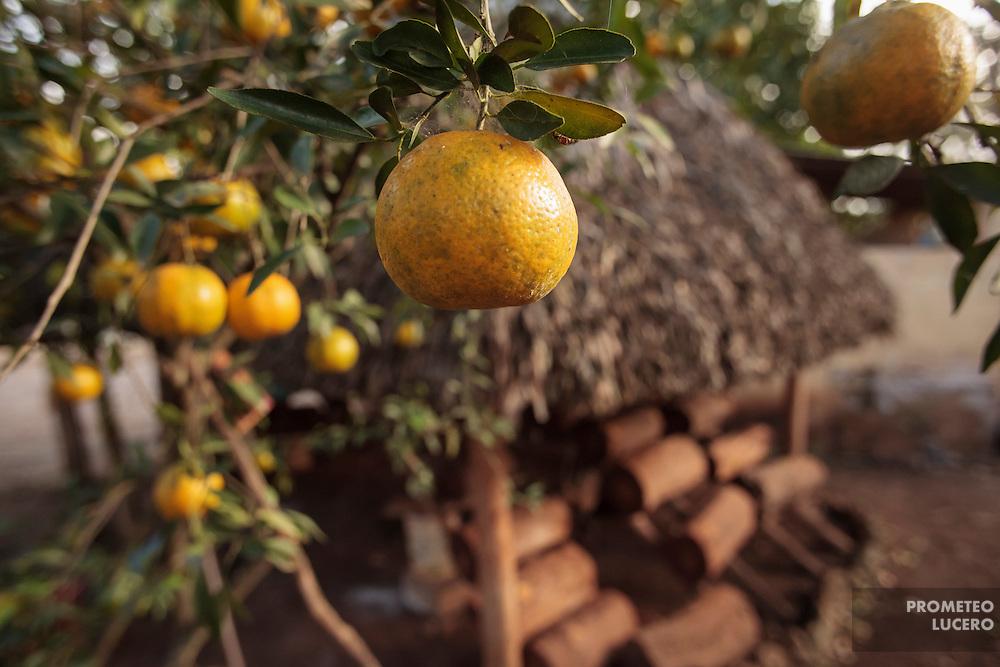 En el patio de la casa de Leidy Pech, en Hopelchén, árboles frutales y otras plantaciones sirven de alimento a las personas. Un principio en la cocina maya es consumir lo que se tiene en el patio. Al fondo, bajo una palapa, troncos donde anidan abejas meliponas.  (FOTO: Prometeo Lucero)