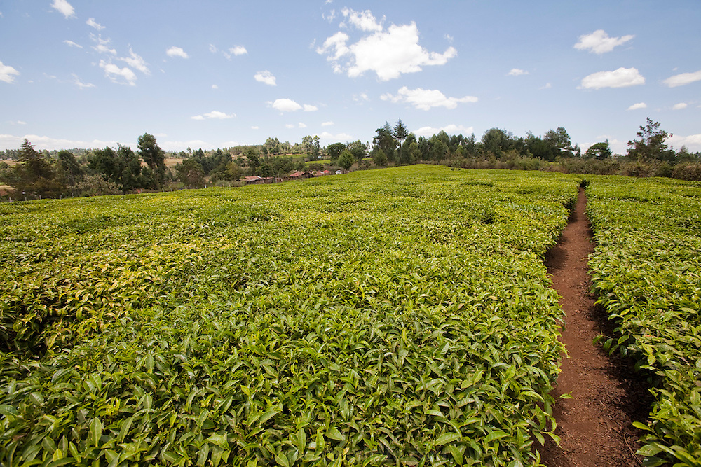 Tea bushes on a small plantation. Kibet Serem cares for a small tea plantation that his father planted on their property near Kericho, Kenya when Kibet was a young boy and he is responsible for milking the cows that his family owns. (Kibet Serem is featured in the book What I Eat: Around the World in 80 Diets.) He is 25 years of age. He sells extra milk to a nearby school for a government feeding program and gives some to his mother who makes yogurt and sells it.