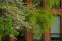 Dogwood in bloom and new spring leaves outside Tompkins Hall.