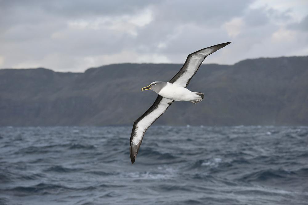 Buller's Albatross - Thalassarche bulleri. Chatham Islands, New Zealand.