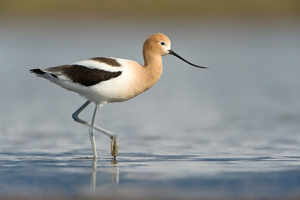 American Avocet in a flooded field, Western Montana