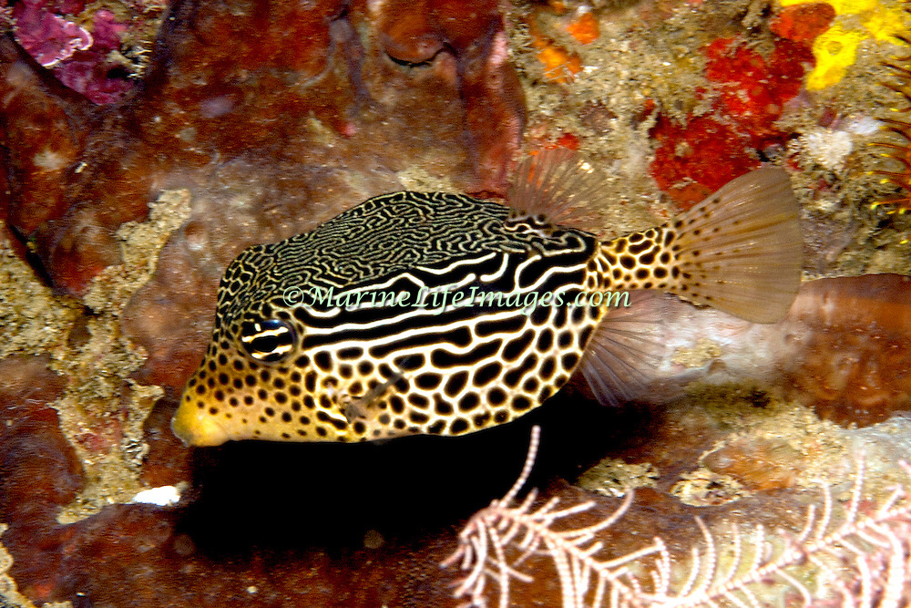 Solor Boxfish inhabit seaward reefs. Picture taken Philippines.