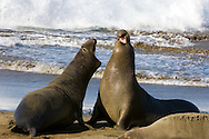 Two Northern Elephant Seal Bulls (Mirounga angustirostris) fight over territory and the right to rule a harem.