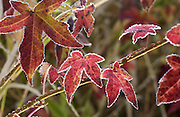 Red leaves with hoar frost