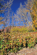 Vineyards and fall color in the orchard at Pipe Spring, Pipe Spring National Monument, Arizona