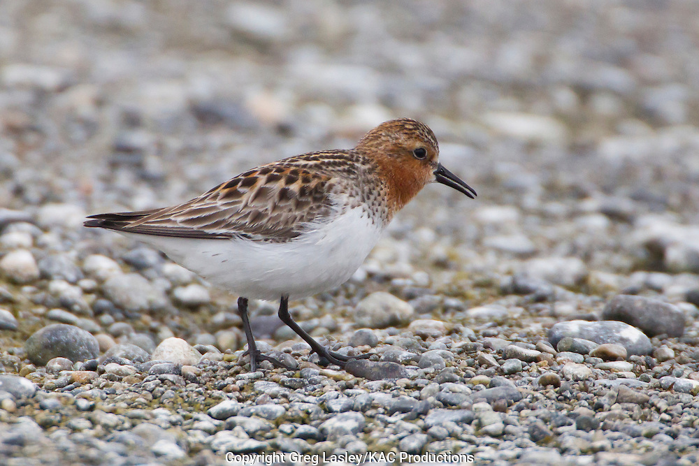 Red-necked Stint<br /> Calidris ruficollis<br /> Gambell,<br /> St. Lawrence Island,<br /> Alaska<br /> 26 May 2012