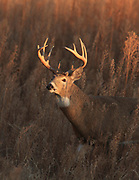 Whitetail buck in prairie habitat.
