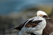Male Long-tailed Duck (Clangula hyemalis) .The duck was dozing off as if beeing well fed.