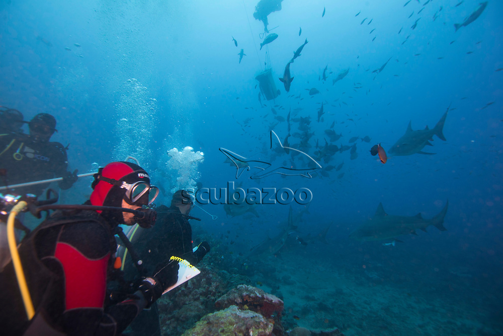 Scuba divers observing sharks, Shark Reef, South Pacific, Fiji,