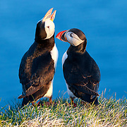 A pair of Atlantic puffins (Fratercula arctica) socializing late at night, just before the Arctic summer sunset in Iceland.