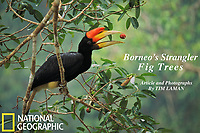 A young rhinoceros hornbill (Buceros rhinoceros) tosses up a fig from a strangler fig tree (Ficus dubia) before swallowing it.  Lowland rain forest of Gunung Palung National Park, Borneo.