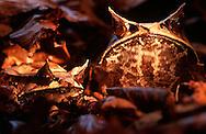 DEU, Deutschland: Zipfelkrötenfrosch (Megophrys nasuta), zwei Zipfelkrötenfrösche sitzen nebeneinander auf dem laubbedeckten Boden des asiatischen Regenwaldes, ihre Körperform und ihre Farbe sind perfekt an ihren Lebensraum die Bodenvegetation des tropischen Regenwaldes angepasst, Tarnung, Herkunft: Asien | DEU, Germany: Asian horned frog (Megophrys nasuta), two asian horned frogs side by side on asian rain forest soil between leaves, perfectly designed to fit its surroundings, camouflage, origin: Asia |