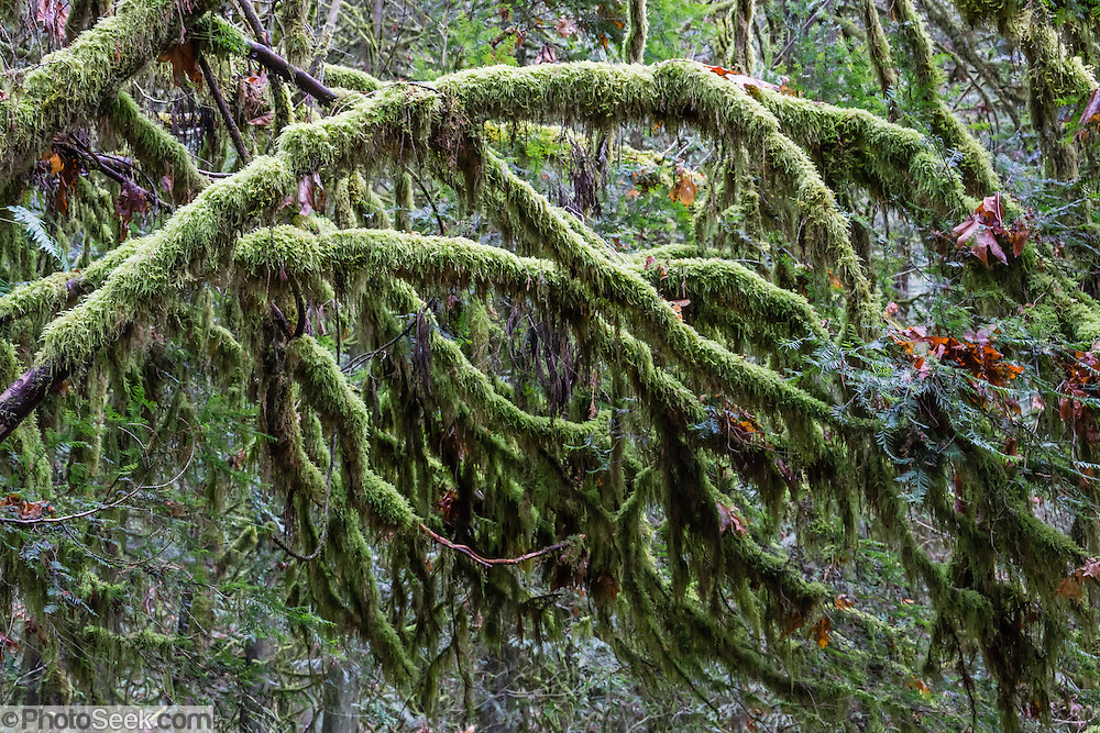 Moss drapery on branches. Lynn Canyon is a municipal park established in 1912 at 3663 Park Road, in North Vancouver, British Columbia, V7J 3G3, Canada. Phone 604-990-3755.