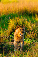Female Lion in the bush, near Kwara Camp, Okavango Delta, Botswana.