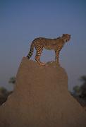 Cheetah on Termite Mound<br />Acinonyx jubatus<br />Okavango Delta, BOTSWANA   Africa