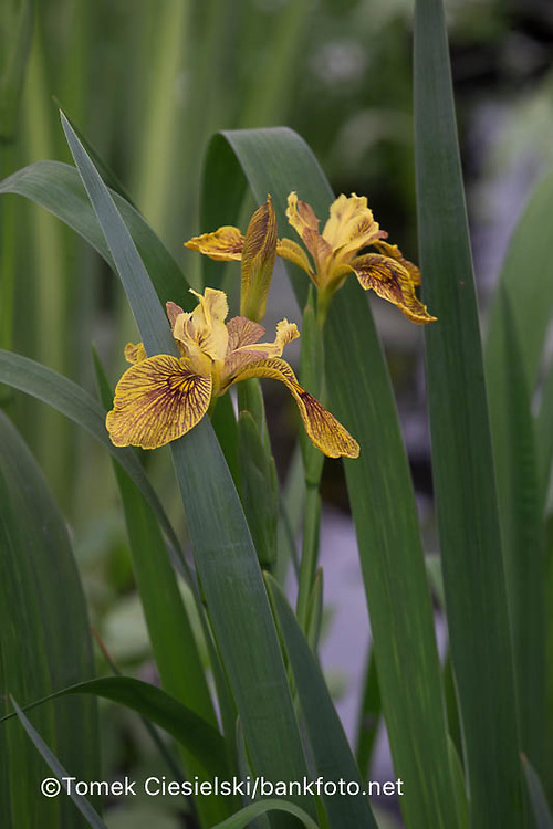 Iris versicolor 'Berlin Tiger'