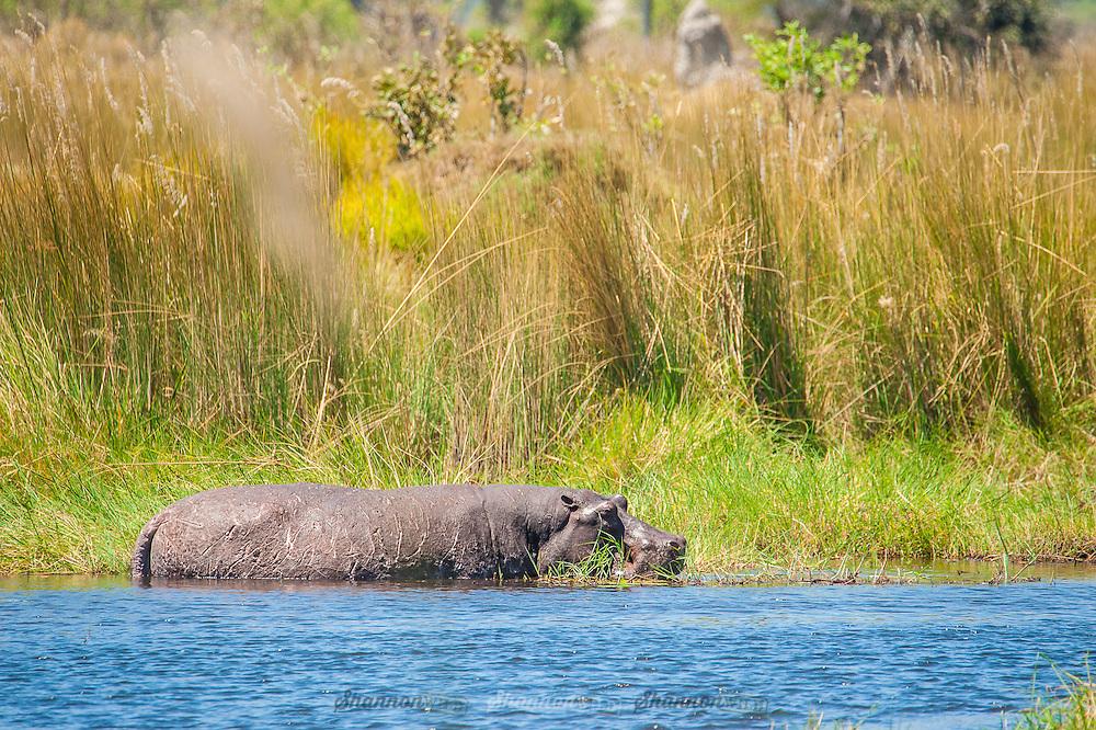 A hippo in the Okavango Delta, Botswana.
