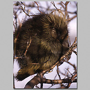 Alaska. Porcupine. Erethizon dorsatium.This robust rodent usually weighs around 22 pounds. Its blunt-nosed face has small eyes, and small, round ears. The legs are powerful with long curved claws making it slow-footed and strong. The front half of the body is covered in long guard hairs which are a yellowish colour in the west and black or brown in the east. The rump and tail are covered in over 30,000 quills which are 1-2.5 inches in length and set with tiny, scalelike barbs.