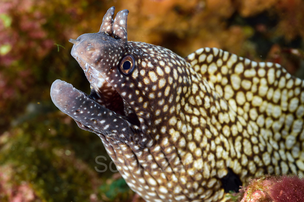 Moray eel (Muraena pavonina) Central equatorial Atlantic Ocean, Saint Peter and Saint Paul Archipelago, Brazil #STP17 [first published through bioGraphic, a program of the California Academy of Sciences] |