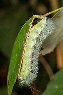 moth caterpillar<br /> Peru: Departamento de Madre de Dios Co.<br /> Refugio Amazonas on the Tambopata River<br /> 30-Jul-2016<br /> J.C. Abbott #2857 &amp; K.K. Abbott