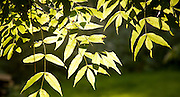 Photosynthesis shown by sun shining ash tree leaves