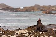 New Zealand Fur Seal, Stewart Island