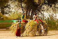 Carrying sugarcane on donkeys, near Luxor, Egypt