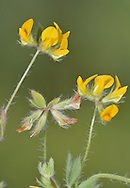 Hairy Bird's-foot Trefoil Lotus subbiflorus (Fabaceae) Height to 25cm Rather straggly, branched and densely hairy annual. Flowers 5-10mm long, in heads of 3 or 4  flowers. Fruit is a pod 15mm long. Leaves are trefoil. Scarce and local, mainliy S and SW England. On sand and gravel.