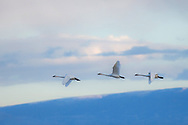 An infrequent visitor to the Bighorn Basin, this trio of Tundra Swans stopped briefly at a local waterhole to rest during their long migration. These elegant birds nest in the Arctic Tundra and migrate to points south to spend the winter months.