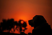 Silhouette of a Labrador retriever Dog at sunset