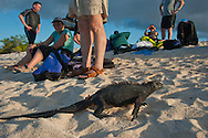 Marine Iguanas on Santa Cruz island in the Galapagos