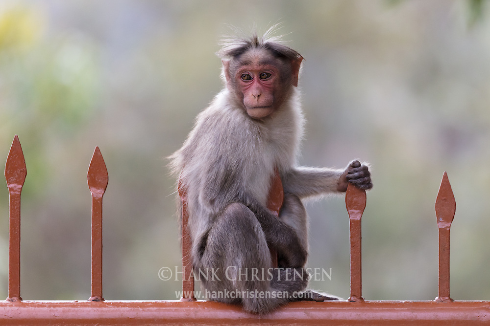 A juvenile rhesus macaque sits on a fence looking cute, Ooty, Tamil Nadu, India.