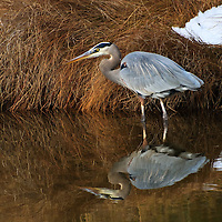 An adult great blue heron (Ardea herodias) fishes along the banks of an impoundment and is reflected in the tannin-rich water, Chincoteague National Wildlfie Refuge, Assateague Island, Virginia.