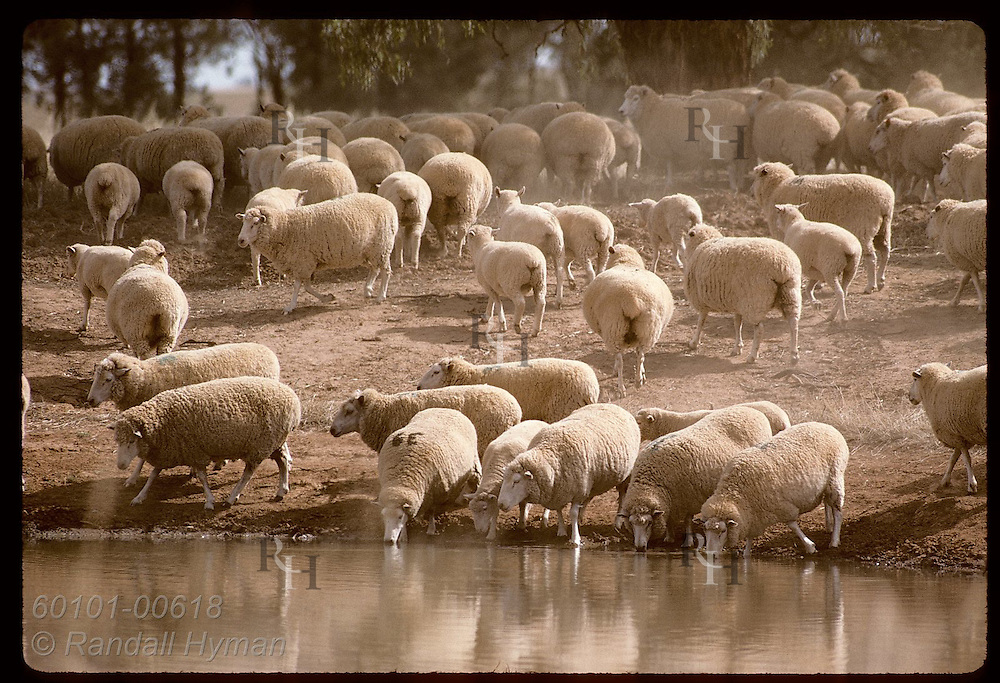 Sheep gather around water hole on a hot, dry summer day on farm near Coolamon, New South Wales. Australia