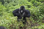 Mountain Gorilla<br /> Gorilla gorilla beringei<br /> Silverback beating chest<br /> Parc National des Volcans, Rwanda<br /> *Endangered species