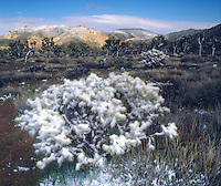 I just loved the juxtaposition of the snow covered cholla cactus with the desert so I took a photo of the cool scenic landscape.