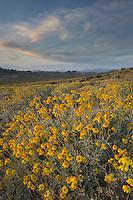 Fields of Brittlebush (Encelia farinosa), Superstition Mountains, Arizona