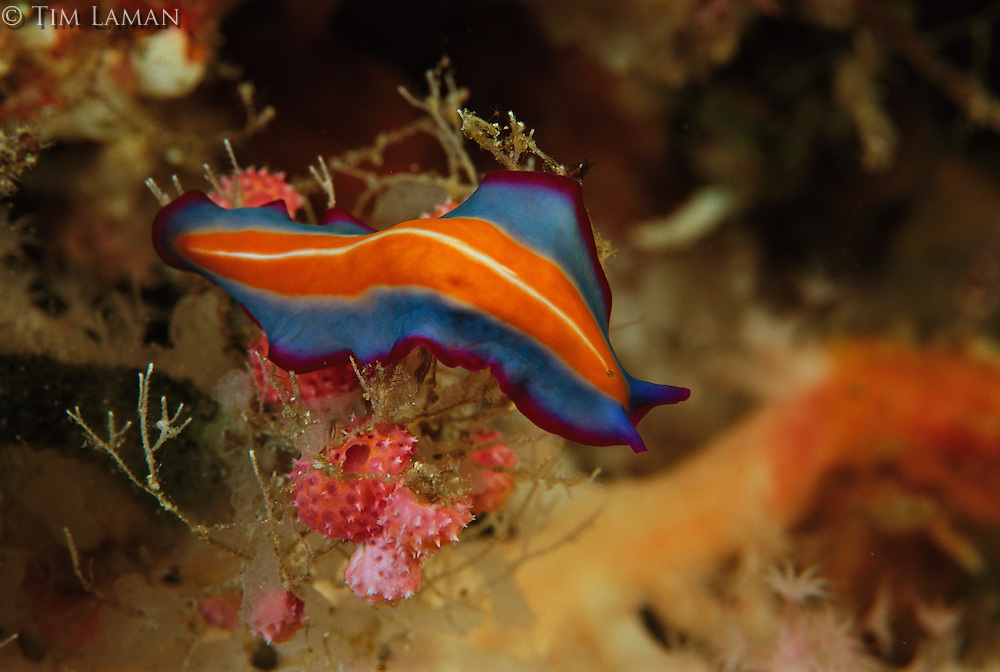 A colorful marine flatworm, Pseudoceros species.