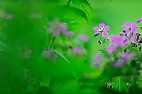 (Geranium sylvaticum), commonly called Wood Cranesbill or (in North America) Woodland Geranium, Ardennes, Luxembourg