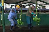 GUIDOM, Fairtrade Bananas, Dominican Republic