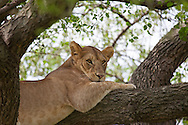 Young lion lying in a tree in the Serengeti National Park, a UNESCO World Heritage Site in Tanzania.