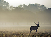 © Licensed to London News Pictures. 14/10/2012. Richmond, UK Deer walk in the morning sunshine. Early mooring mist and sunshine in Richmond Park, Surrey, today 14th October 2012. Photo credit : Stephen Simpson/LNP