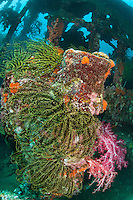 A Crinoid and Soft Coral encrusted World World II shipwreck.<br /> <br /> Shot in Indonesia