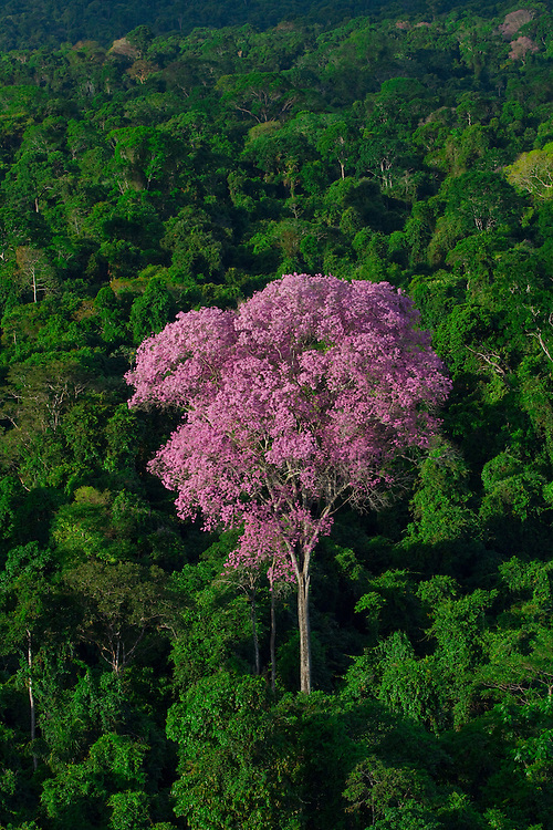 Parauapebas_PA, Brasil.<br /> <br /> Ipe-roxo floresce na Floresta Nacional de Carajas (Flona) em Parauapebas, Para.<br /> <br /> Purple ipe (Brazilian typical tree) in the Carajas National Forest in Parauapebas, Para.<br /> <br /> Foto: JOAO MARCOS ROSA / NITRO