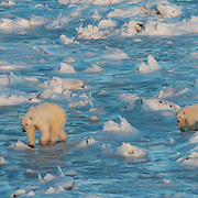 Polar Bear (Ursus maritimus) mother and cub walking along frozen Hudson Bay. Churchill, Manitoba. Canada