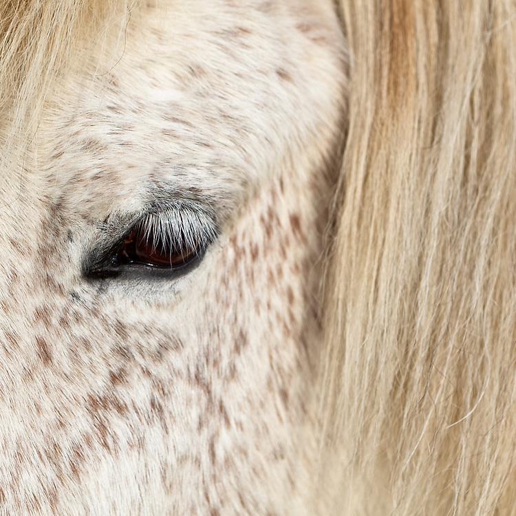 Eye of an Icelandic Horse